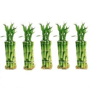 how to cut bamboo plant