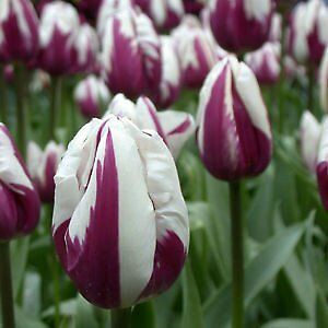 Fall Bulb (TULIPS) Blowout: Save 50-70% OFF ENTIRE INVENTORY Kitchener / Waterloo Kitchener Area image 3