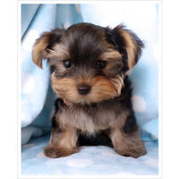 Looking for a  Yorkie pup