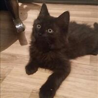 "Baby Male Cat - Domestic Long Hair: ""Pear (b)"""