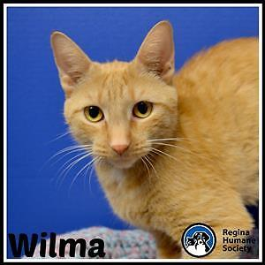 """Young Female Cat - Domestic Short Hair: """"Wilma"""""""