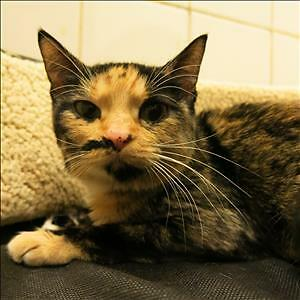 "Adult Female Cat - Domestic Short Hair: ""Smudge"""