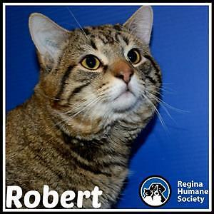"Adult Male Cat - Domestic Short Hair: ""Robert"""