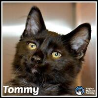 """Young Male Cat - Domestic Medium Hair: """"Tommy*"""""""