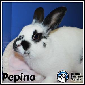 "Adult Male Rabbit - Bunny Rabbit: ""Pepino*"""