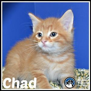 """Baby Male Cat - Domestic Short Hair: """"Chad*"""""""