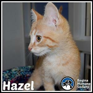 "Baby Female Cat - Domestic Short Hair: ""Hazel*"""