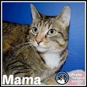 "Adult Female Cat - Domestic Medium Hair: ""Mama"""