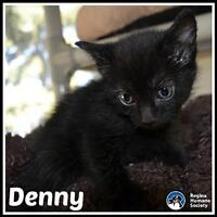 """Baby Male Cat - Domestic Short Hair: """"Denny*"""""""