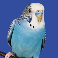 Lovely playful parakeet with house