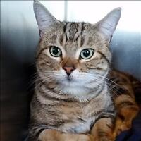 """Young Male Cat - Domestic Short Hair: """"Jaspurr"""""""
