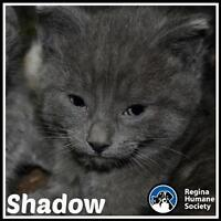"""Baby Male Cat - Domestic Short Hair: """"Shadow*"""""""