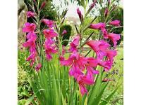 Perennial Hardy Gladiolus Byzantius bulbs in pots.