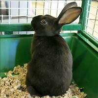 "Young Male Rabbit - Rex: ""Thunder"""