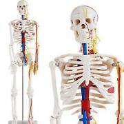 Anatomie Modell