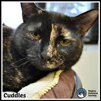 "Adult Female Cat - Domestic Short Hair: ""Cuddles"""