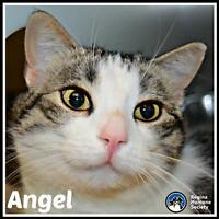 "Adult Female Cat - Domestic Short Hair: ""Angel"""