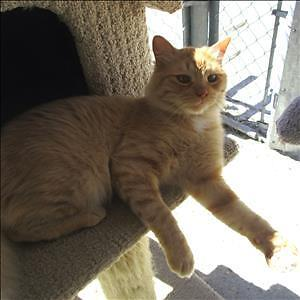 "Adult Male Cat - Domestic Medium Hair: ""O'Malley"""