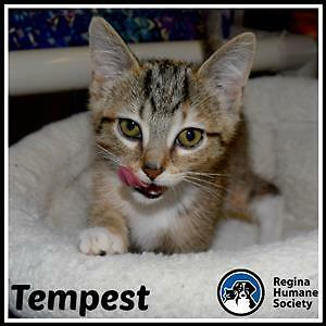 "Baby Female Cat - Domestic Short Hair: ""Tempest*"""