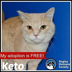 "Adult Male Cat - Domestic Short Hair: ""Keto*"""