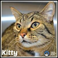 "Adult Male Cat - Domestic Short Hair: ""Kitty"""