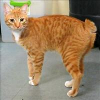 "Young Male Cat - Domestic Short Hair: ""Oliver"""