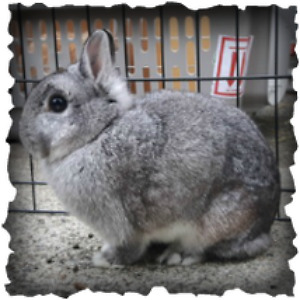Netherland Dwarf Doe - Chinchilla-Coloured