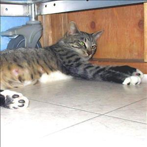 """Adult Female Cat - Domestic Short Hair: """"Willow"""""""
