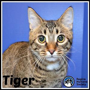 "Young Male Cat - Domestic Short Hair: ""Tiger"""
