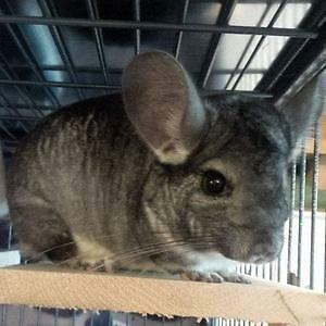 "Adult Female Small & Furry - Chinchilla: ""Sadie"""