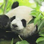 Panda s ACG store