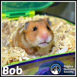 """Young Male Small & Furry - Hamster: """"Bob*"""""""