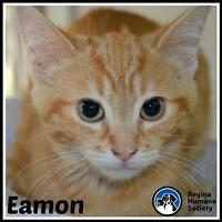 """Baby Male Cat - Domestic Short Hair: """"Eamon*"""""""