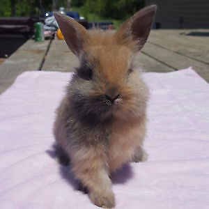 ONE LEFT!!!! Holland Lop x Lionhead Kits (lionlops)