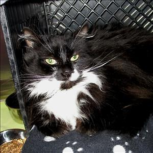 "Adult Female Cat - Domestic Medium Hair: ""Fluffy"""