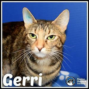 "Adult Female Cat - Domestic Short Hair: ""Gerri"""