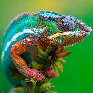Reptiles, Snakes, Lizards and Feeders Cambridge Kitchener Area image 4