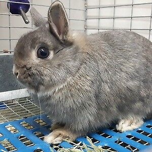 Opal Netherland Dwarf Doe (updated Sept.18)