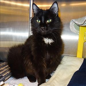 "Adult Female Cat - Domestic Long Hair: ""Twilight"""