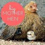 Big Mother Hen