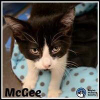 """Baby Male Cat - Domestic Short Hair: """"McGee*"""""""