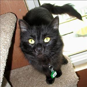 "Adult Female Cat - Domestic Medium Hair: ""Ebony"""