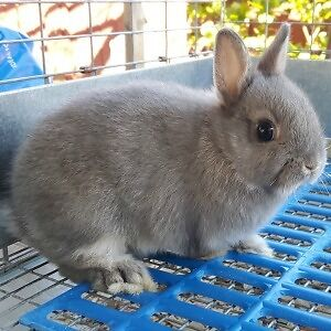 Netherland Dwarf Rabbits - 7 remaining $100-120 each