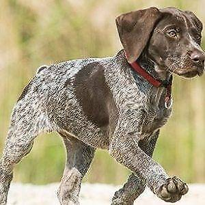 pointer | Dogs & Puppies | Gumtree Australia Free Local