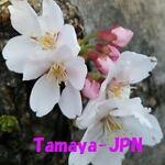 Tamaya-JPN