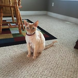 Purebred Devon Rex and Devon/Bengal Looking for Good Home!!!