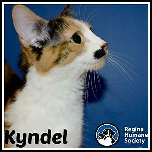 """Young Female Cat - Domestic Short Hair: """"Kyndel*"""""""