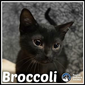 "Baby Male Cat - Domestic Short Hair: ""Broccoli"""