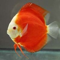 BEAUTIFUL TOP QUALITY DISCUS