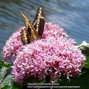 Butterfly attracting Pink Mexican Hydrangea (Clerodendrum) Petersham Marrickville Area Preview